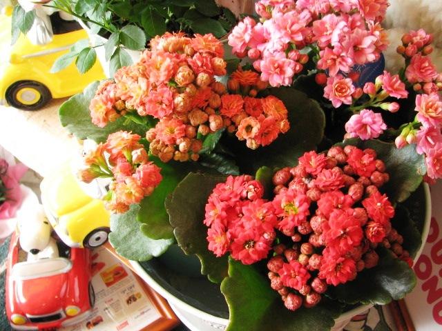 母の日 花鉢 カランコエ
