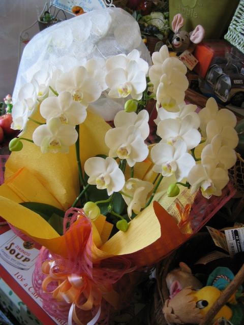 母の日 花 鉢植え 胡蝶蘭