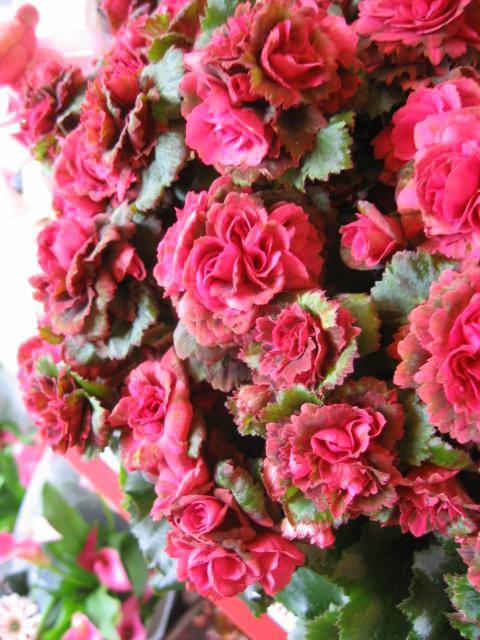 母の日 花 鉢植え ベゴニア