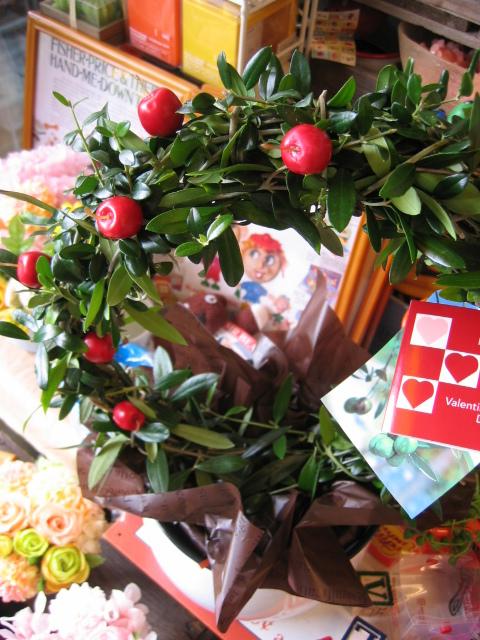 オリーブ 鉢植え アーチ仕立てが可愛いオリーブ【ラッピング付き】