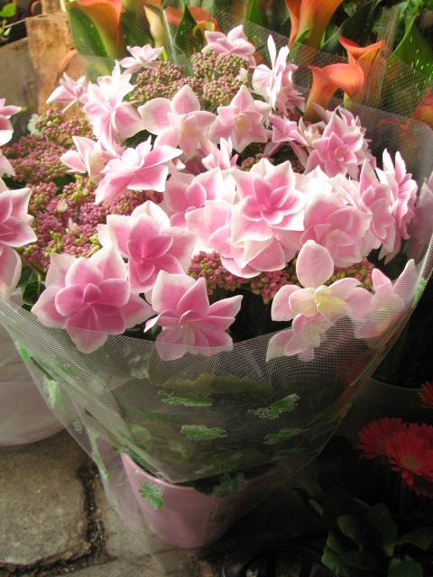 母の日 鉢植え ガクあじさい ピンク こんぺいとう